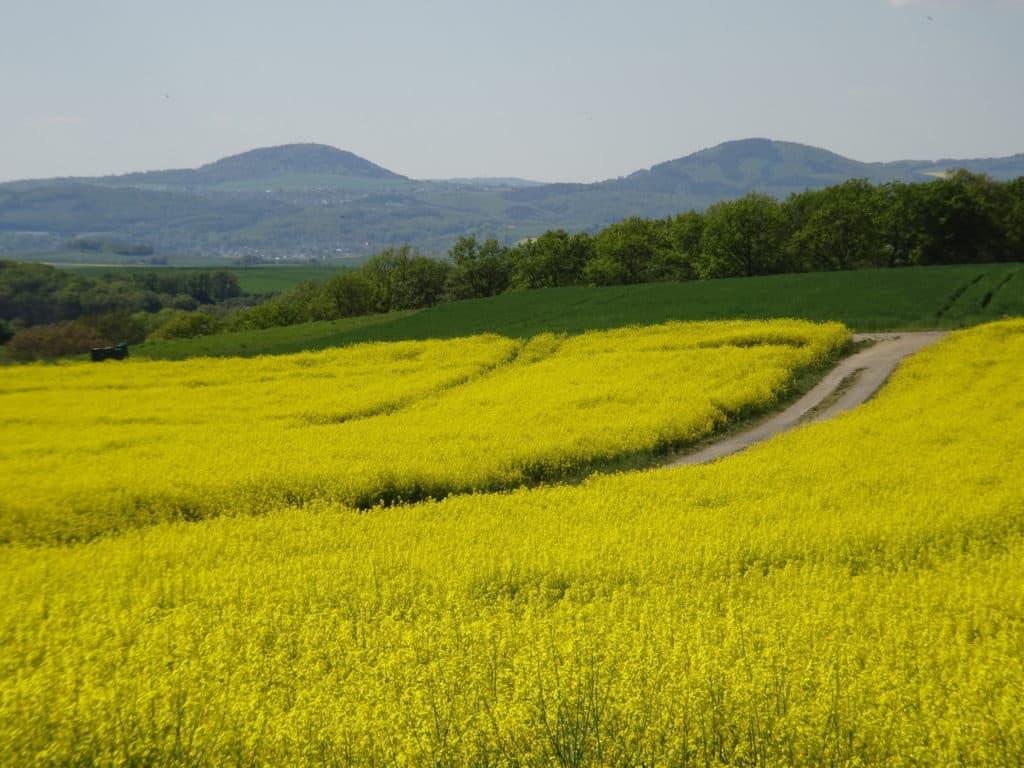 Aufnahme eines weitläufigen gelben Rapsfeldes